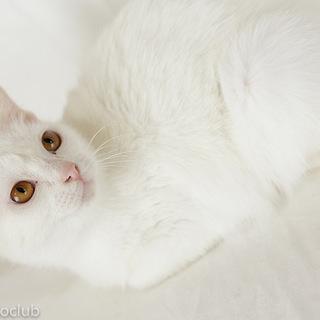 元気で懐こい白猫  のんちゃん