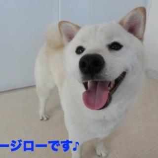 しつけ済み、GMaC4期犬『オージロー』オス1歳半