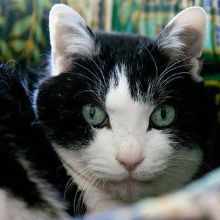 キレイなハチ割れ黒白高齢猫