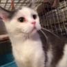 不思議顔の猫マコに似てるブリティッシュショートヘア