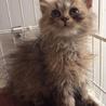 チンチラゴールデン子猫