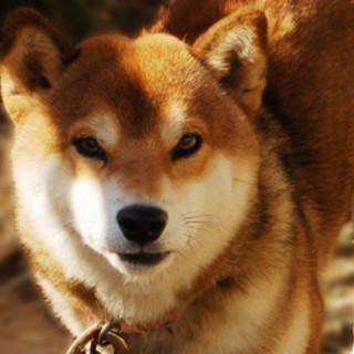 豆柴ミックス犬の新しい飼主さんを募集中