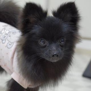 ポメラニアン・弥生ちゃんは5か月の可愛い女の子