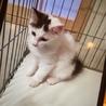 生後3ヶ月  女の子  ノルウェーの子猫