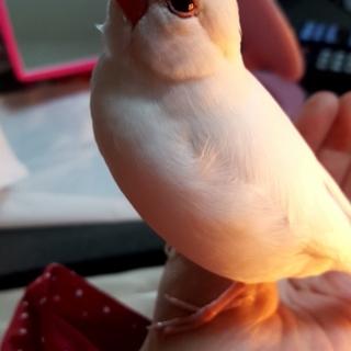 白文鳥 生後3年 ♀