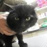 人なつこいゴージャス半長毛の黒猫