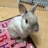 【ウサギ】ネザー♂シナモンくん7才 サムネイル2