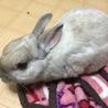 【ウサギ】ネザー♂シナモンくん7才 サムネイル3