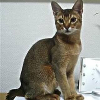 アビシニアンの成猫の女子(代理募集)