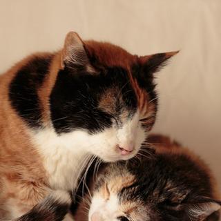 三毛猫姉妹の桃ちゃんと花ちゃん