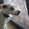 シュナウザーミックス犬の新しい飼い主さん募集中