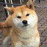 【応募多数により募集一時停止】柴犬の女の子です!