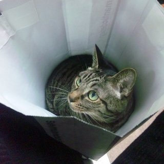 高齢の猫ですがお引き取りいただける方募集します