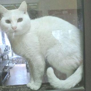 人間大好き真っ白美猫エリン!