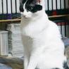 きりっとした白黒成貓(♀) サムネイル7
