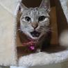 美猫のマリンちゃん、里親募集です!