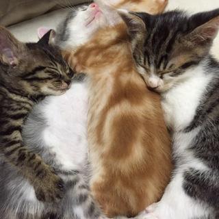 生後2ヶ月•仔猫•5兄弟