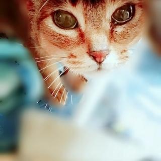 美猫アビシニアンmix里親さん募集