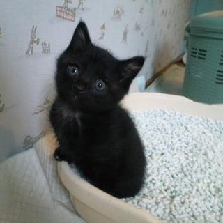 ふわふわ黒の子猫♂
