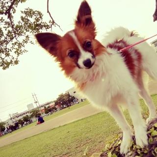 生後半年♀パピヨン仔犬