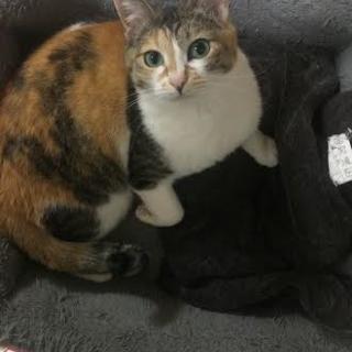 キュートな三毛猫♀ミラ