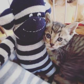 甘えん坊なキジ子猫♡