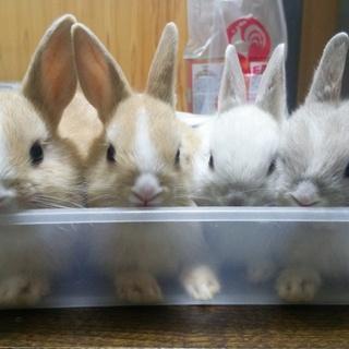 カワイイミニウサギの子供