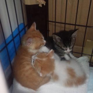九州、近畿地方で仔猫の里親募集