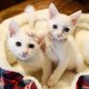 白猫【がんも】甘えん坊さんで美猫さんです
