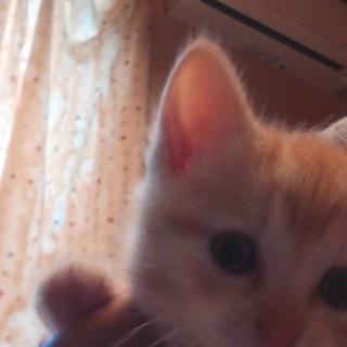 アメショー子猫の里親の募集です。