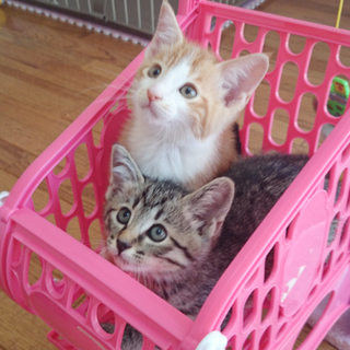子猫の兄妹の飼い主さま募集