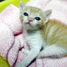 かわいいチャシロ男の子タンタンです 約1ヶ月