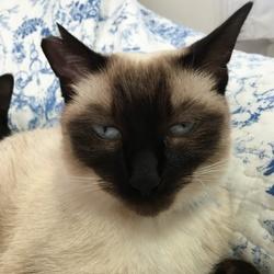 動物愛護団体は飼い猫に桜耳を勧めますか?