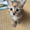 4月21日生まれ!キジ三毛女の子☆