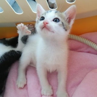 黒のハチワレとミケの子猫姉妹