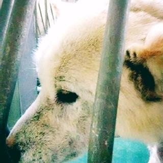 白柴犬7キロ女の子 推定2才 1頭飼育向き