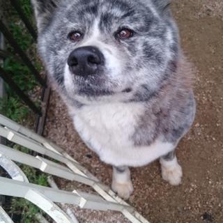 #秋田犬 雌2歳#  里親決定しました!