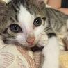 甘えん坊の子猫の里親様を募集しています。