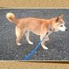 飼い主飼育放棄  柴犬13歳 5キロ小さめ サムネイル2