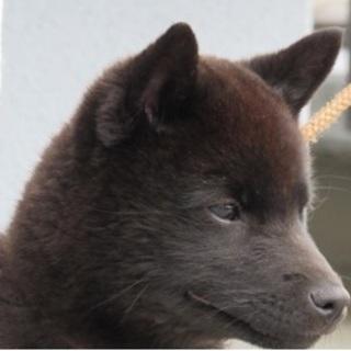 天然記念物指定甲斐犬 純血種メス 生後5か月