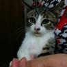 生後二か月のオス フジ猫ちゃん
