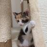 三毛猫「ミミちゃん」一ヶ月半