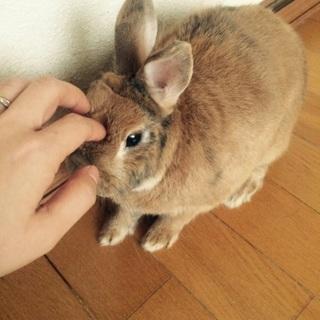 ミニウサギの里親募集です!!
