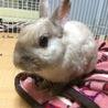 【ウサギ】ネザー♂シナモンくん7才 サムネイル6