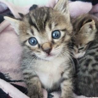 生後1ヶ月半の甘えん坊のキジ子猫「茶」君
