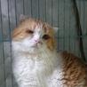 スコF★イチロー★♂・半折耳短毛・6歳・ハンデあり