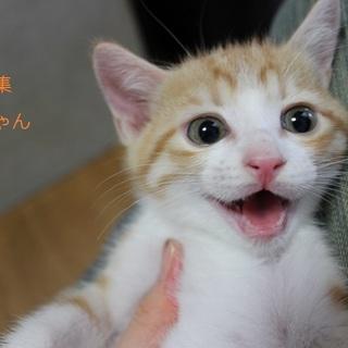 可愛い♥茶白こねこ(女の子)あみちゃん里親募集