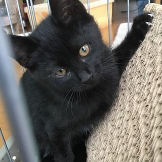 黒猫・目が金色・ムクムク男の子♪生後2ヶ月半
