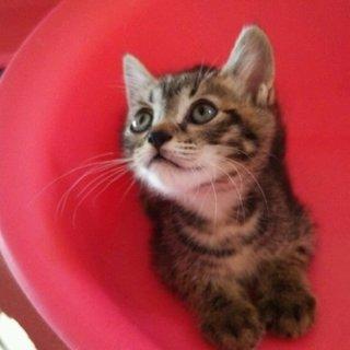 マンクス風しっぽの短いキジの子猫(他媒体で決定)