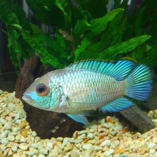 コバルトブルーアカラ 成魚